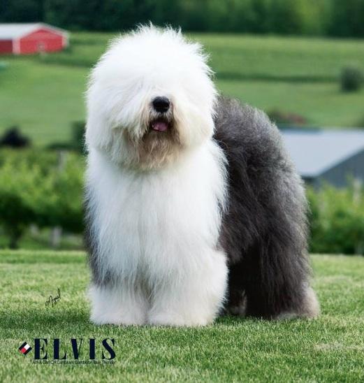 big dog: LONG BEACH OLD ENGLISH SHEEPDOG