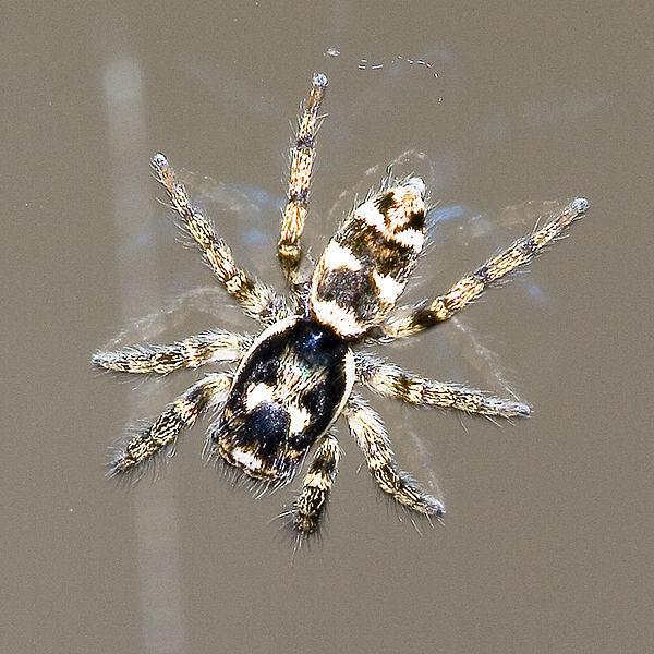 Adirondack Entomology Appreciating Jumping Spiders The
