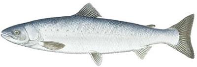 how to identify salmon fish