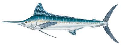 White Marlin (Tetrapturus albidus)