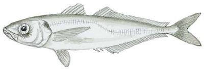 Pacific Jack Mackerel (Trachurus symmetricus)
