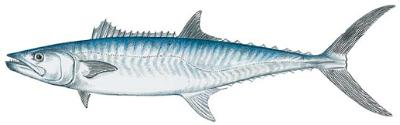 King Mackerel (Scomberomorus cavalla)