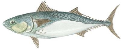 Frigate Mackerel (Auxis thazard)