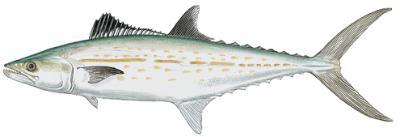 Cero Mackerel (Scomberomorus regalis)