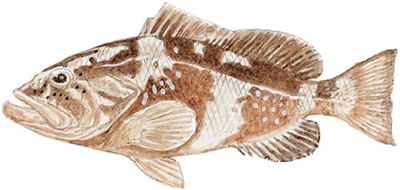 Red Grouper (Epinephelus morio)