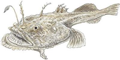Goosefish