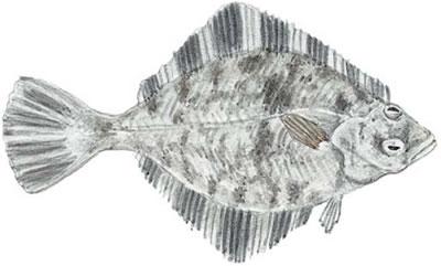 Starry Flounder (Platichthys stellatus)