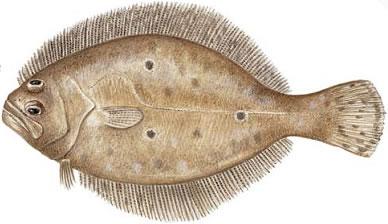 Gulf Flounder (Paralichthys albigutta)