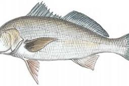 Spotfin Croaker (Roncador stearnsii)