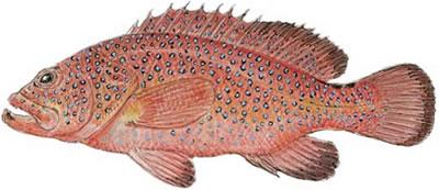 Coney (Cephalopholis fulva)