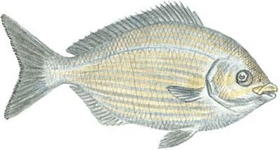 Bermuda Chub (Kyphosus sectatrix)