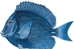 Blue Tang (Acanthurus coeruleus)