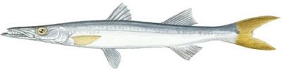 Pacific Barracuda (Sphyraena argentea)