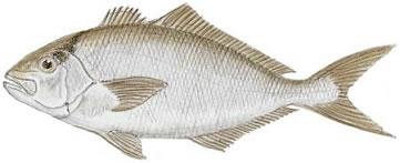 Lesser Amberjack (Seriola fasciata)
