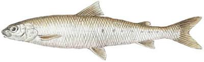 Round Whitefish (Prosopium cylindraceum)