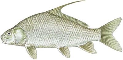White Sucker (Catostomus commersoni)