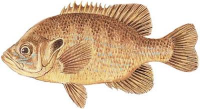 Green Sunfish (Lepomis cyanellus)