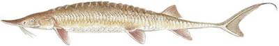 Shovelnose Sturgeon (Scaphirhynchus platorinchus)