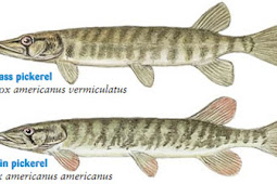 Grass and Redfin Pickerel
