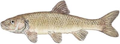 Fallfish (Semotilus corporalis)