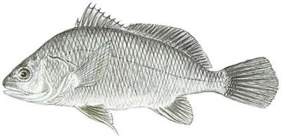 Freshwater Drum (Aplodinotus grunniens)