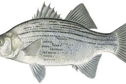 White Bass (Morone chrysops)