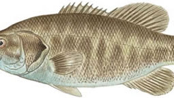 Suwannee Bass (Micropterus notius)