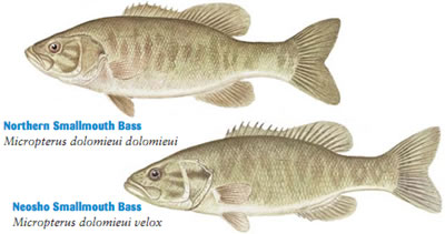 Smallmouth Bass (Micropterus dolomieui)