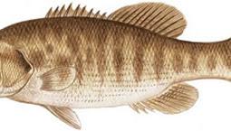 Guadalupe Bass (Micropterus punctulatus)