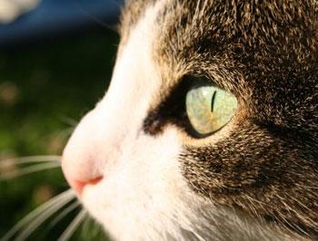 infezione dellocchio di gatto dopo il glaucoma
