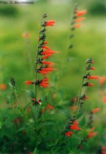 Salvia oppositiflora R. & P. Moquegua Peru
