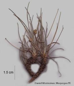 Plantago sericea cf. subsp. polyclada (Pilger) Rahn