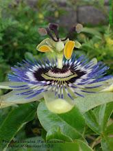 Passiflora caerulea. Passifloraceae