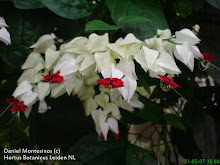 Clerodendrum sp. Lamiaceae