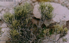 Parastrephia quadrangularis (Meyen) Cabrera