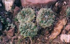 Neowerdermannia chilensis subsp. peruviana (Ritter) Ostolaza Nano