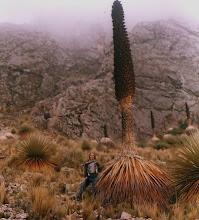 Puya raimondii, Moquegua, Perú. DMT 2006