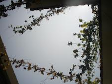 Cobaea scandens en Arequipa Perú