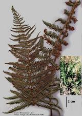 Thelypteris glandulosolanosa (C. Chr.) R.M. Tryon Thelypteridaceae