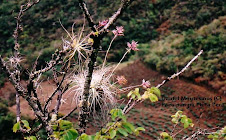 Tillandsia & Pitcairnia. Bromeliaceae