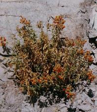 Calceolaria pisacomensis Meyen ex Walpers