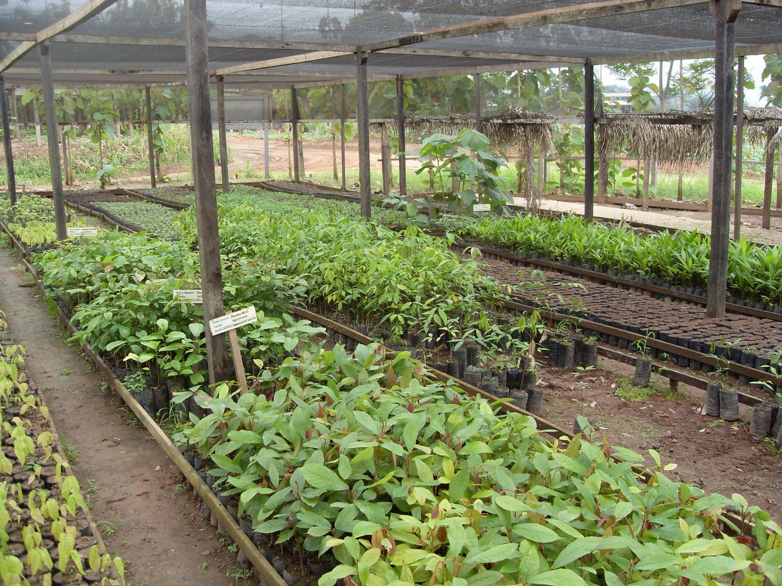 Mudas prontas para o Plantio em áreas de Recuperação Ambiental
