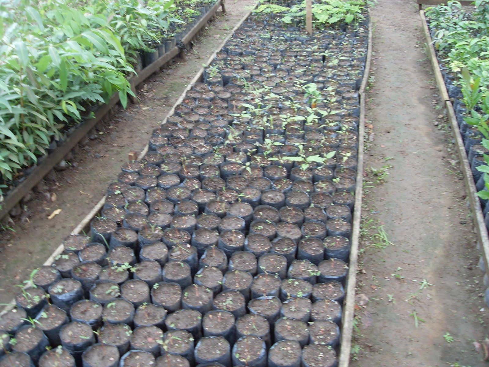Sacolas plásticas prontas para o plantio de mudas