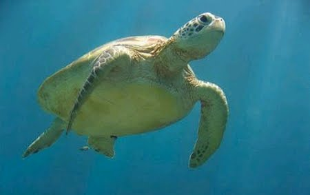 Tartaruga Dermochelys coriacea