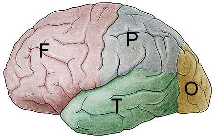 [Lobus+otak.JPG]