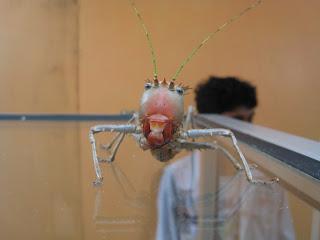 cameron highlands malaysia grasshopper