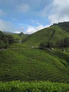 cameron highlands boh tea plantation