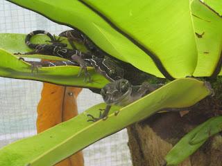 cameron highlands malaysia green eyed gecko