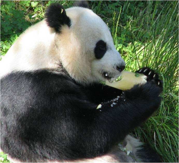 Panda bite - photo#29