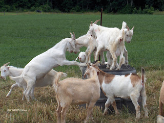 goats in this year's test
